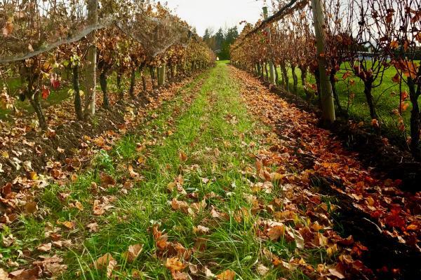 Vineyard Foliage