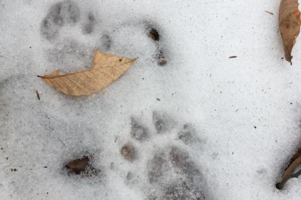 Fisher tracks in the snow.