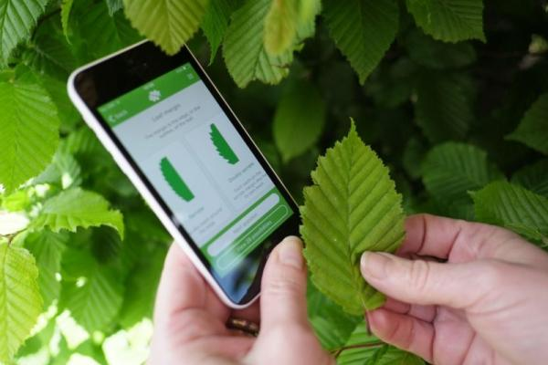Person looking at a Smart Phone App to identify a leaf.