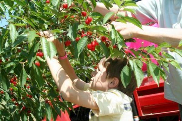 Varick Winery Cherry Picking